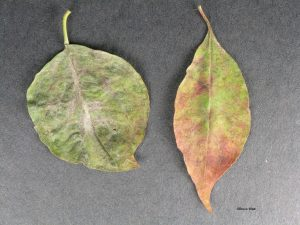 Affected leaves
