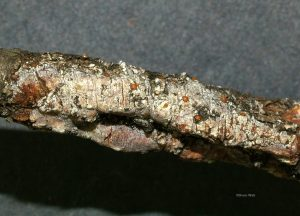 Apothecia evident in canker