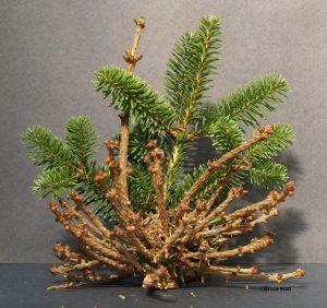 Broom on balsam fir