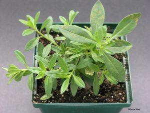Whole plant symptoms