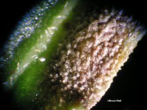 Conidiomata on leaf surface
