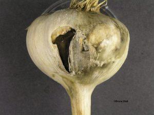 Inner bulb canker