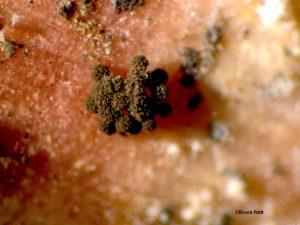 Aspergillus conidiophores