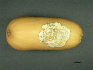 Black rot of butternut squash