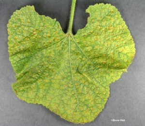 Infected upper leaf surface