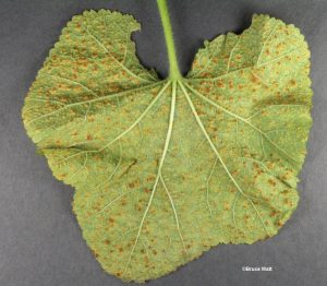 Infected lower leaf surface