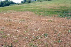 A field in South Waldoboro, Maine, week of July 4, 2001, showing armyworm damage.