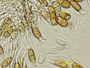 Conidiogenesis