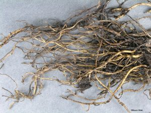 Black Root Rot