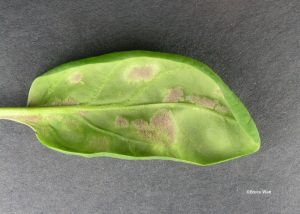 Underside of infected leaf