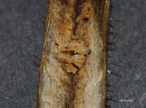 Raspberry Cane Maggot