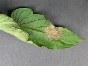 Late blight on top of leaf