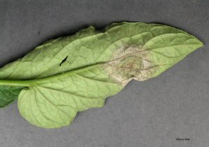 Late blight on bottom of leaf