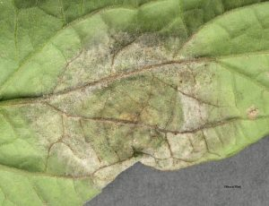 Late blight on bottom of leaf close-up