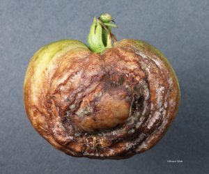 Late blight late fruit infection