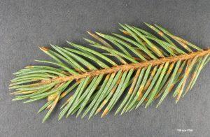 Telia on spruce needles