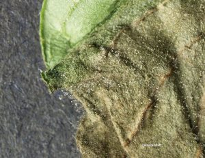 Conidia on infected leaf