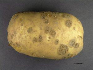 Potato Common Scab