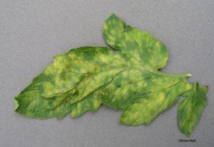 Upper leaf surface