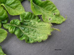 Potato Herbicide Damage