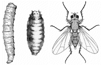 Onion Maggot larva, pupa, and adult