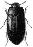 mealworm adult
