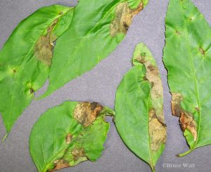 Ash leaves infected with anthracnose discula