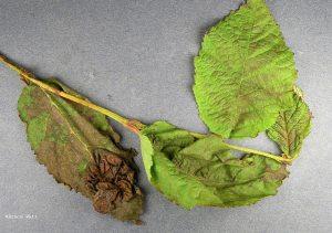 Alder damaged by Alder Leaf Curl