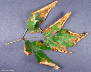 Astilbe leaf infected with Discostroma
