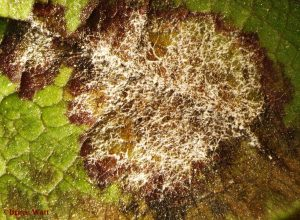 Astilbe leaf infected with powdery mildew