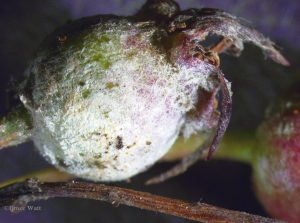 Fruit of Amelanchier infected with powdery mildew