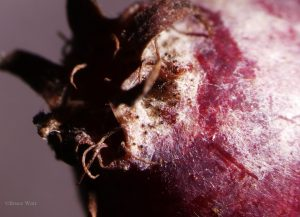 Fruit of Amelanchier infected with powdery mildew close up