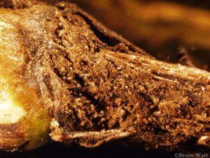Fusarium sp. damage to stem