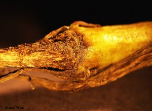 Calendula stem affected by Fusarium