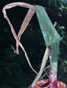 Onion plant affected by purple blotch