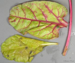 Swiss Chard leaves with Cercospora leaf spots