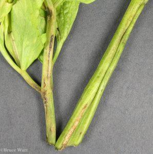 Alternaria damage to celery plant