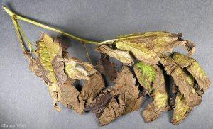 Ascochyta damage to Cimicifuga branch