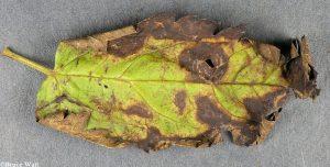 lesions on Cimicifuga leaf