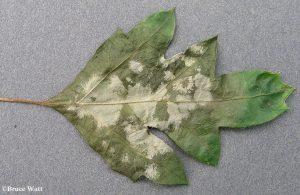Cissus leaf affected by powdery mildew
