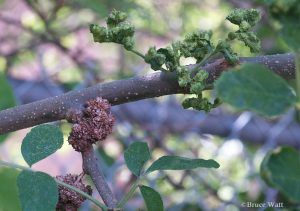 ash branch with flower galls