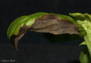 Basil leaf showing Downy Mildew damage