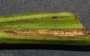 alternaria lesion on celery stalk