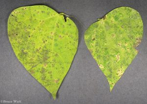 Topsides of bean leaves with leaf spots