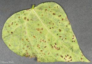 Telia on underside of bean leaf