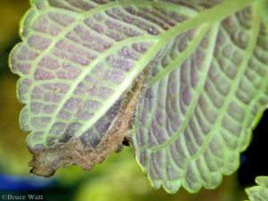 Leaf lesion