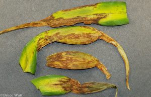 leaves with Collecephalus damage