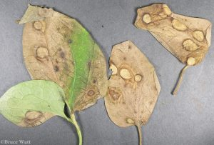 clematis leaves with lesions