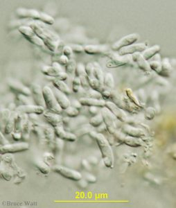 Phoma conidia