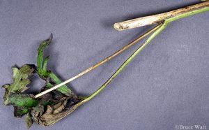 infected Delphinium branch